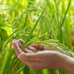 beras bahan utama sabun beras thailand