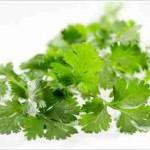 cilantro herbal daun ketumbar obat keracunan merkuri