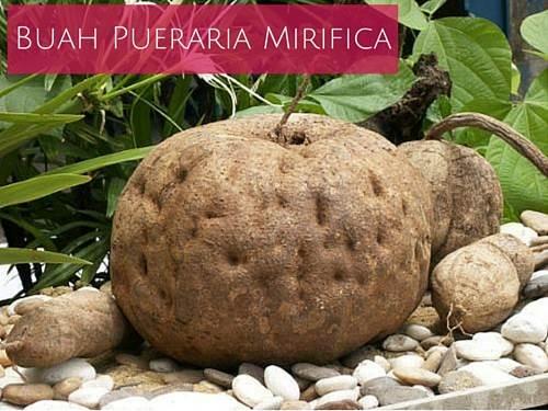 buah pueraria mirifica herbal pembesar payudara tradisional dari thailand