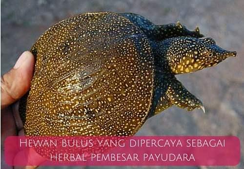 gambar hewan bulus yang diesktrak menjadi minyak bulus obat pembesar payudara