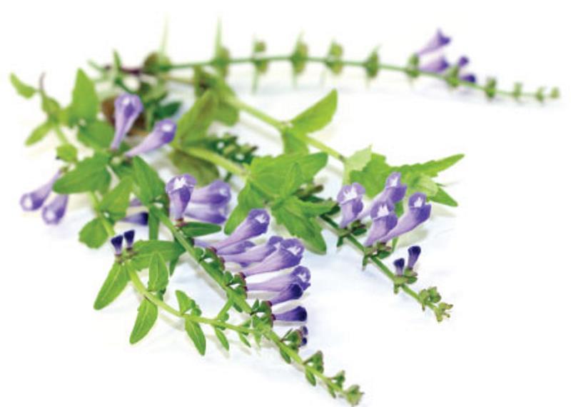 Scutellaria Baicalensis aman digunakan tanpa efek samping