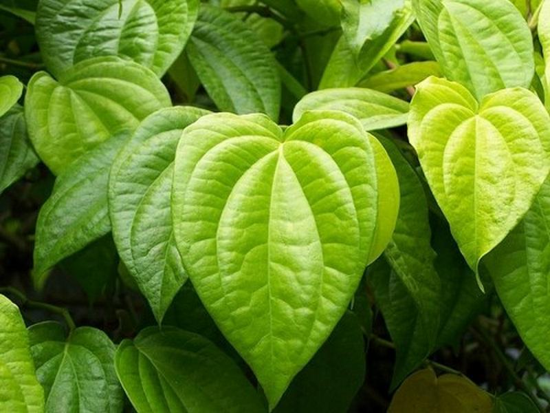piper betel leaves dalam fair n pink tidak ditemukan efek samping dan bahaya