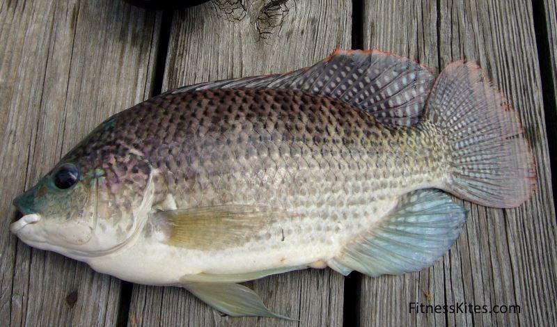 ikan tilapia berpotensi menimbulkan efek samping pure collagen